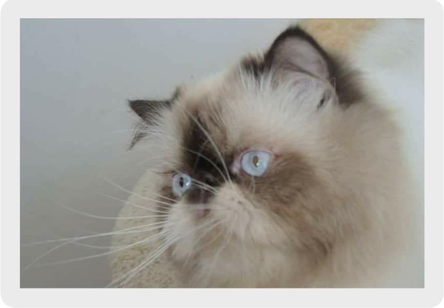 Hodowla CHARADE*PL to hodowla kotów  perskich i   egzotycznych w kolorach czekolady i lila